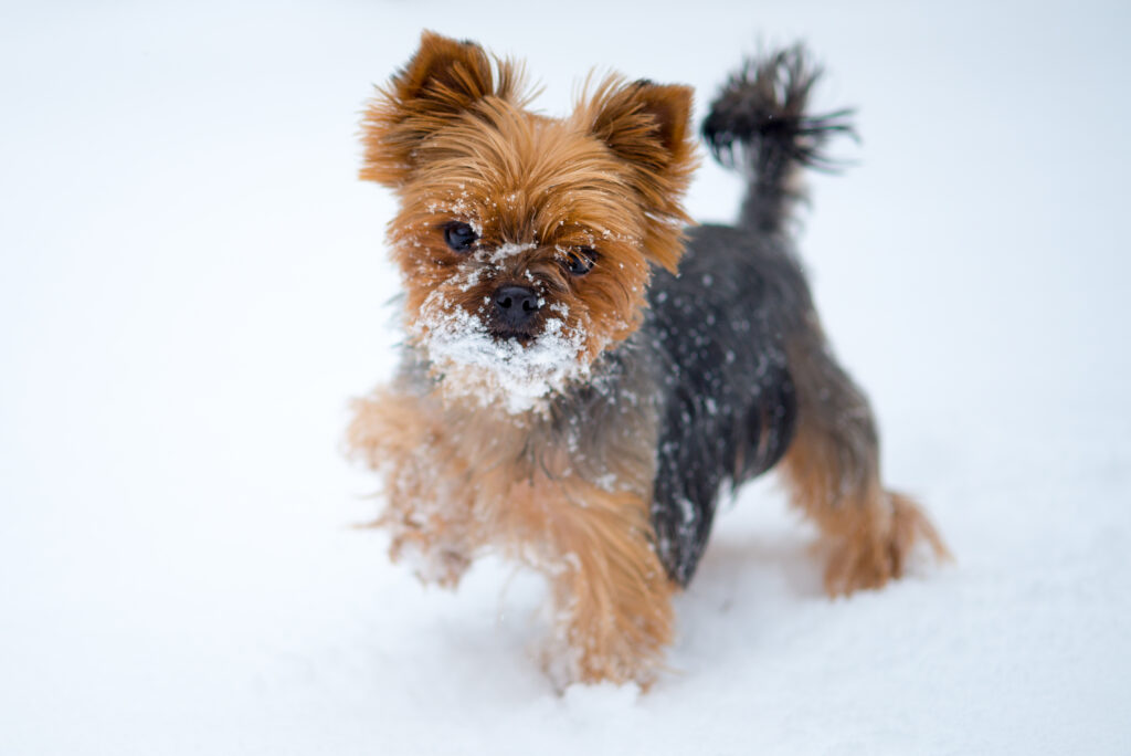 Small dog in snow. Yorkshire terrier